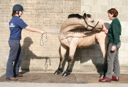 Horse stretching exercise